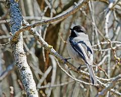 Chickadee (Mark...L) Tags: harringtonbeachstatepark blackcappedchickadee