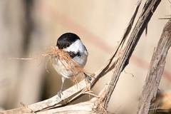 fixing the nest (LASCAR35) Tags: 100400isiil blackcappedchickadee mésangeàtêtenoire parccharbonneau 80d canon dslr bird birding