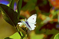 Lemon Tree Butterfly and Ant (maginoz1) Tags: flowers lemontree abstract art contemporary curve butterfly autumn april 2019 bulla melbourne victoria australia canon g3x