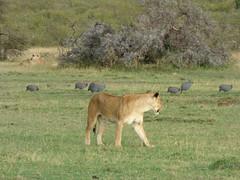 Helmeted guineafowl and lioness in Masai Mara (Animal People Forum) Tags: bird birds groundbird flock guineafowl fowl grass grassland savanna masaimara maasaimara kenya africa lion pride