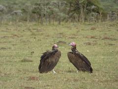 Lappet-faced vultures in Masai Mara (Animal People Forum) Tags: bird birds vulture vultures savanna masaimara maasaimara kenya africa birdofprey raptor scavenger