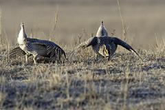 Sharp-tailed Grouse (aurospio) Tags: burwell nebraska grouse sharptailedgrouse lek