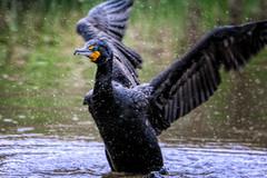 the take off (Gaby Swanson, Photographer) Tags: duck ottawawildliferefuge ohio wildlife waterfowl nature naturephotography naturephotographer ohiobirds ohiowildlife