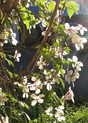 Du von hartem kalten Erz (amras_de) Tags: waldreben klematis clematis plamének skovranke klematido kärhöt clématite iszalag ragane powojnik srobot klematissläktet blüte blume flor cvijet kvet blomst flower floro õis lore kukka fleur bláth virág blóm fiore flos žiedas zieds bloem blome kwiat floare ciuri flouer cvet blomma çiçek