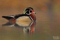 IMG_9024nxr (4President) Tags: wood duck aix sponsa minnesota