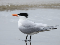 Day 4, Royal Tern / Thalasseus maximus, Mustang Island State Park (annkelliott) Tags: usa us unitedstatesofamerica texas southtexas mustangislandstatepark day4 nature wildlife avian bird royaltern thalasseusmaximus adult sideview standing beach water outdoor 22march2019 nikon p900 nikonp900 coolpix annkelliott anneelliott ©anneelliott2019 ©allrightsreserved