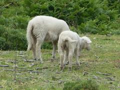 P1060444 (jesust793) Tags: ovejas anim al primavera