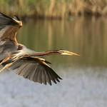 airone rosso, purple heron .. thumbnail