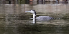 Common Loon - Lake Petersburg, central Illinois (emace) Tags: commonloon nature animal wildlife bird waterfowl lakepetersburg menardcounty centralillinois spring perched