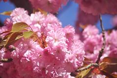 Pink (DameBoudicca) Tags: sweden sverige schweden suecia suède svezia スウェーデン cherryblossom sakura kirschblüte 桜 japanischekirschblüte fleursdecerisier fiorediciliegio サクラ körsbärsblomma tree träd 木 baum arbre pink rosa rose ピンク flower blossom blomma blüte flor fiore fleur 花 はな spring vår frühling frühjahr primavera printemps 春 はる