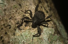 Paleticus subereus (dustaway) Tags: arthropoda insecta coleoptera curculionidae paleticus tamborinemountain nature sequeensland queensland australia australianbeetles