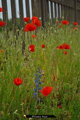 """Coquelicots """" belle fleur à la robe d'un rouge éclatant et aux pétales doux comme la soie """" (Frédéric Romac) Tags: coquelicots fleur rouge nature pétales doux soie"""