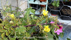 Seedling rose with flowers opening seen from outside of balcony 22nd April 2019 (D@viD_2.011) Tags: seedling rose with flowers opening seen from outside balcony 22nd april 2019
