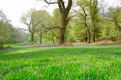 A hint of blue (davison.hilary) Tags: stanstedhouse hampshire bluebells