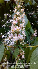 Horse Chestnut flowers close up on the way up to Sapley Square 24th April 2019 001 (D@viD_2.011) Tags: flowering trees huntingdon 24th april 2019
