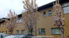 Cherry trees flowering at back of medical centre in Sapley Sqaure 24th April 2019 003 (D@viD_2.011) Tags: flowering trees huntingdon 24th april 2019