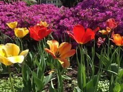 Sherwood Gardens ~ eye candy (karma (Karen)) Tags: baltimore maryland sherwoodgardens flowers tulips bushes azaleas iphone