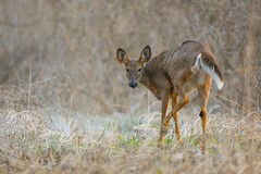 White Tailed Deer (Rob E Twoo) Tags:
