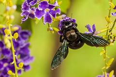 2019-365-115  #nikonpassion (bebopeloula) Tags: nikonpassion365 photorobertcrosnier 2019 365 faune iledelareunion nikond700 abeillecharpentière animaux insecte invertébrés