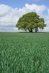 tree not trees (SCRIBE photography) Tags: uk england countryside farm farming crop field tree lone lonely solitary alone spring landscape sky cloud clouds