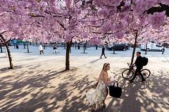 Stockholm, April 25, 2019 (Ulf Bodin) Tags: sakura kungsträdgården sverige cherryblossom körbärsblom canonef1635mmf4lisusm outdoor streetphotography sweden stockholm spring canoneosr vår urbanlife stockholmslän