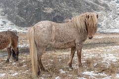 Tough horses (David Feuerhelm) Tags: animals horse nikkor weather snow grass iceland nikon d750 2470mmf28