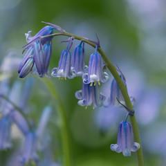 DSC09779.jpg (Derek N Winterburn) Tags: unitedkingdom surrey richmonduponthames 2plants flowers isabellaplantation 1places richmond wildflowers richmondpark places bluebells