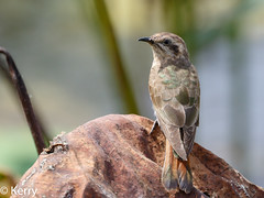 Horsfield's Bronze-Cuckoo (Kazredracer) Tags: 2018 australia kakadunp nt birds mamukalawetlands bronzecuckoohorsfields chrysococcyxbasalis