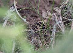 Lehtokurppa (TheSaOk) Tags: lehtokurppa finland suomi linnut pesivä nesting bird birdlife lintukuva luonto kevät metsä woods forest hiding