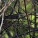 Waterthrush sp. Parkesia sp. Ascanio_Cub2 199A3569