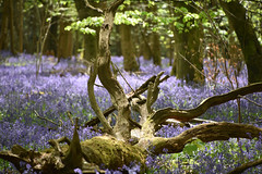 Bluebell Woods (Dave Cool Britannia) Tags: woods trees spring blue bluebells hampshire hinton hintonampner nikon d5500 england cheriton forest colour