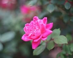 Rose (S&L Smith) Tags: alabama rose roses sonya7ii a7ii rikenon 55mmf14 bokeh