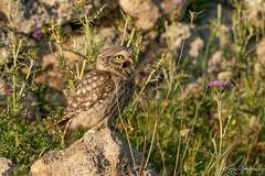 athene noctua vidalli (eric-d at gmx.net) Tags: athenenoctua littleowl kauz eule steinkauz owl strigidae wildlife birdofprey