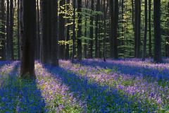 Hallerbos's Sunrise (Fab Boone Photo) Tags: rouge woods wood flower bos hallerbos halle bois forest foret fabien boone fabienboone fabboone fabboonephoto photography printemps lente spring lumière sunrise leverdusoleil lever du soleil light splendid flare mood beautifull purple blue bluebells hyacinth