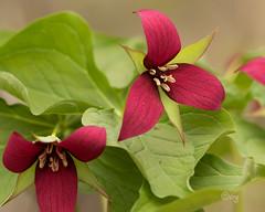 red trillium (crgillette77) Tags: pennsylvania tiogacounty wildflower redtrillium wakerobin trilliumerectum