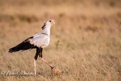 Secretary Bird (mayekarulhas) Tags: narok riftvalleyprovince kenya safari secretary bird birds avian africa mpumalanga canon canon500mm canon1dxmark2