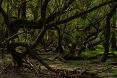 Uriger Auenwald (KaAuenwasser) Tags: auenwald wald rheinauen altrhein baum bäume weiden urig gestalt form holz rinde waldboden boden wurzeln umgefallen gebogen grün