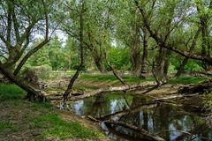 Hier steht normal Wasser (KaAuenwasser) Tags: auenwald wald naturschutzgebiet natur baum bäume weiden holz rinde wasser rheinauen rhein karlsruhe ausgetrocknet rinnsal spiegelung umgefallen