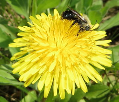 Small Bee Feeding On A Dandelion IMG_2034 (Ted_Roger_Karson) Tags: northernillinois handheldcamera dandelion bee flower thisisexcellent flying hand held camera flowers northern illinois super macro lens flowerhead yard friends twop bug hd winter eyes macroscopic pollen animal outdoor insect pollinator plant depth field backyard animals garden