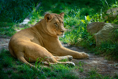 Queen of the Jungle (John Brighenti) Tags: zoo national smithsonian zoological animals exotic display photography sony alpha a7rii ilce7rm2 nex ilce emount femount sel70300g 70300mm zoom telephoto lens gseries bealpha sonyshooter lion lioness panthera leo dangerous relaxing meow cat bigcat africa green washington dc districtofcolumbia woodley park adams morgan spring april