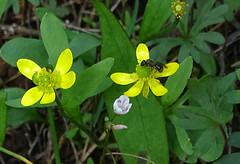 Apr25,2019 DSC09771 Sagebrush buttercup (terrygray) Tags: wildflower