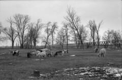 Goats & bridge (lumpy79) Tags: praktica mtl5 helios44m 258 ilford hp5 400 1600 goats bridge újpestivasútihíd újpest budapest szúnyogsziget feketefehér blackandwhite winter tél kecske kecskék