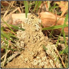 Hymenoptera > Colletidae > Colletes cunicularius - un genere di imenotteri che costruisce il nido scavando nel terreno, edificando esternamente una sorta di vulcano. 25.04.2019 dint. Le Sieci (Firenze) (vespa90ss) Tags: insetti bugs apoidea imenotteri