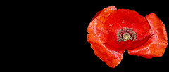 ROSELLA (Joan Biarnés) Tags: amapola rosella garrotxa girona macro flor 311 panasonicfz1000