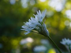 blühender Bärlauch (Elisabeth patchwork) Tags: bärlauch alliumursinum wildgarlic blüte naturephotography wildflower
