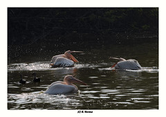 Pelicans (Verma Ruchi) Tags: whitepelicans pelicans white water