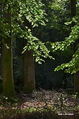 'Golden spring rain' (macdad1948) Tags: devon trees d20 cliffordbridge landscape beech woodlands woods wood springtime spring april sunlight cheritonbishop moretonhampstead dartmoornationalpark dartmoor