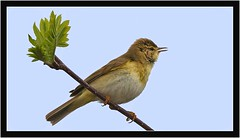 WILLOW WARBLER { m } (PHOTOGRAPHY STARTS WITH P.H.) Tags: male willow warbler haytor vale devon nikon 200500mm afs vr d500