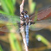 Blue corporal (Ladona deplanata) - first of the year
