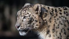 Snow leopard (Soren Wolf) Tags: animal animals snow leopard leopards zoo opole dangerous beautiful bog cat cats green eyes nikon d610 300mm